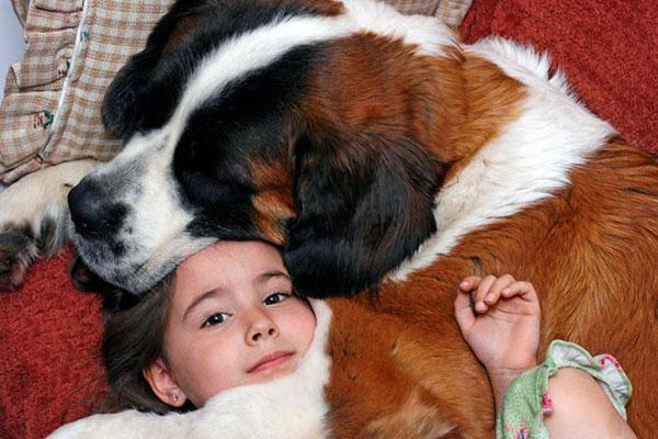 Сенбернары очень дружелюбно относится к детям и другим животным