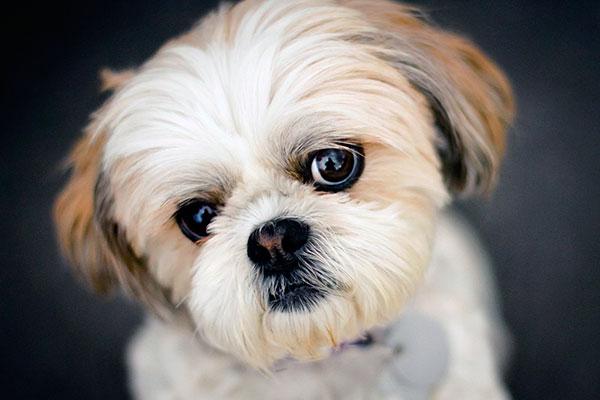 Люди у ши-тцу вызывают больший интерес, чем другие собаки