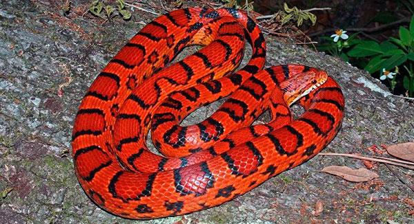 Если правильно содержать красную крысиную змею, , продолжительность жизни превысит 10 лет