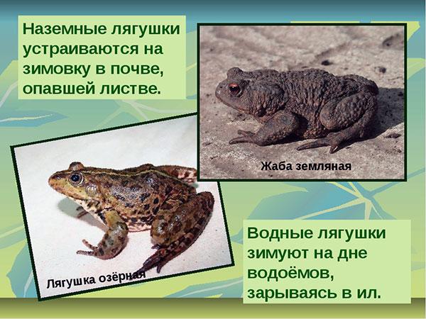 Как зимую лягушки и жабы