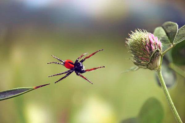 Пауки-вампиры помогают владельцам приусадебных участков сохранять свои урожай от вредителей