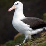 Альбатрос – морская птица