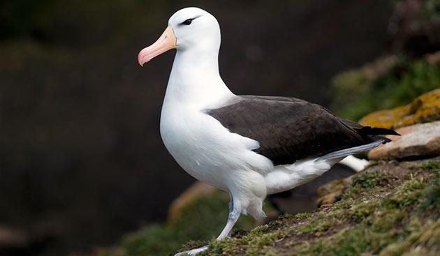 Альбатросы, в основном, живут в южном полушарии