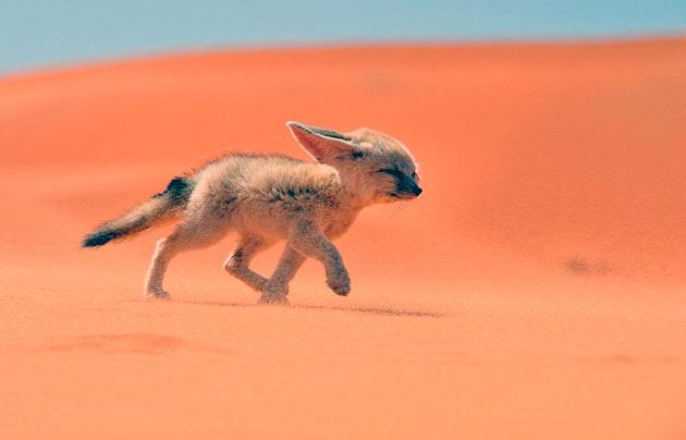 Стихия карликовых лис - полупустыни и пустыни