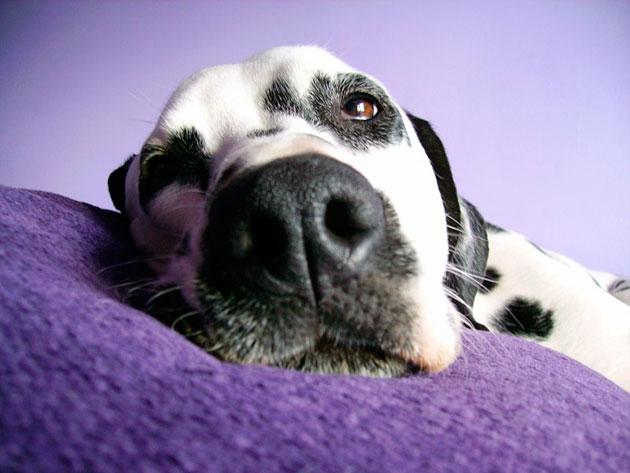 Бронзовая и мочекаменная болезни являются главными болезнями далматина, которыми они могут заболеть, если не следить за здоровьем своего питомца
