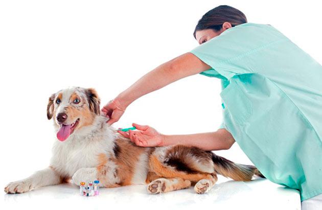 Основными патологиями у австралийской овчарки являются: заболевания опорно-двигательного аппарата, нервные расстройства и болезни глаз