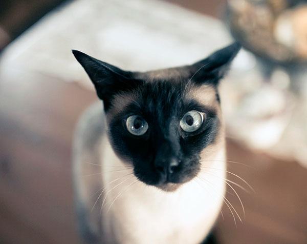 Голубые глаза вашего питомца несут его генетические проблемы, зачастую у них наблюдаются проблемы с зрением