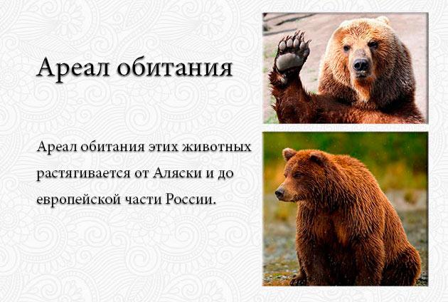 Мета обитания бурых медведей за последние столетия претерпел изменения, одна из причин массовое истребление из-за чего медведям приходиться мигрировать
