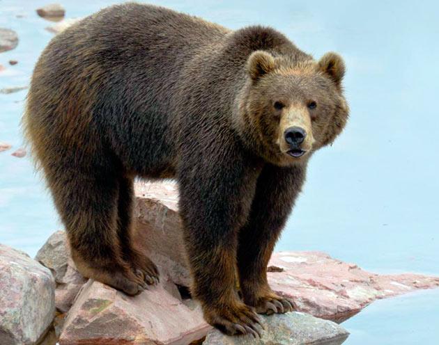 Бурый медведь (обыкновенный)
