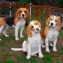 Породы собак: Бигль
