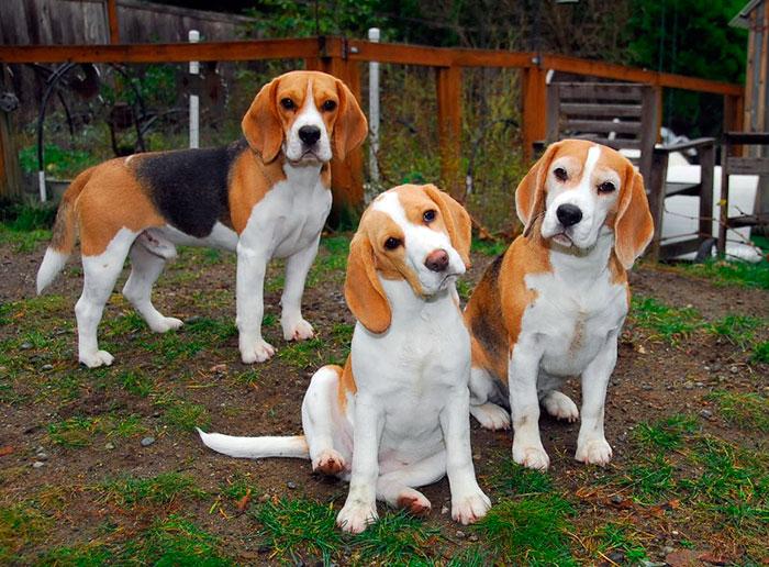 Покупая собаку для охоты, нужно брать щенка из рабочей линии