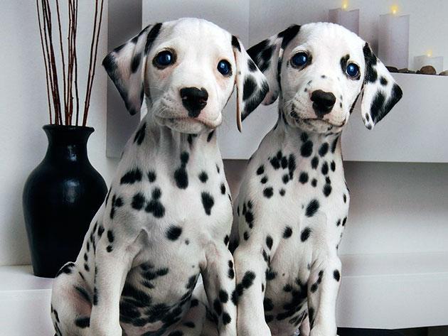 При покупке далматина очень важно проверить щенка на глухоту, они часто страдают этим недугом