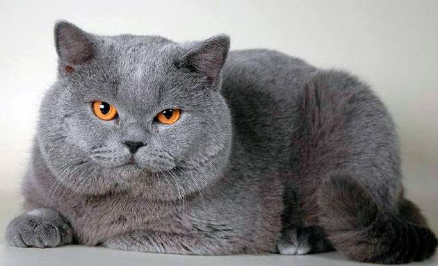 Кормить британского котенка чем