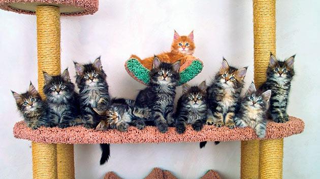 Важный момент кормления котят мейн кунов - это периодичность, в зависимости от возраста