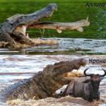 Чем отличается крокодил от аллигатора