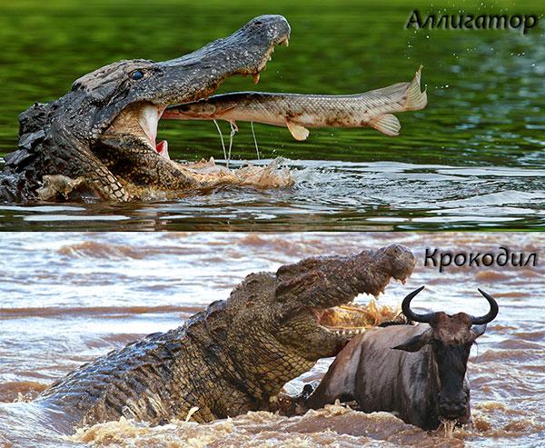 Особи отряда крокодилов питаются достаточно рыбой, крупными млекопитающими, а так же могу есть падаль