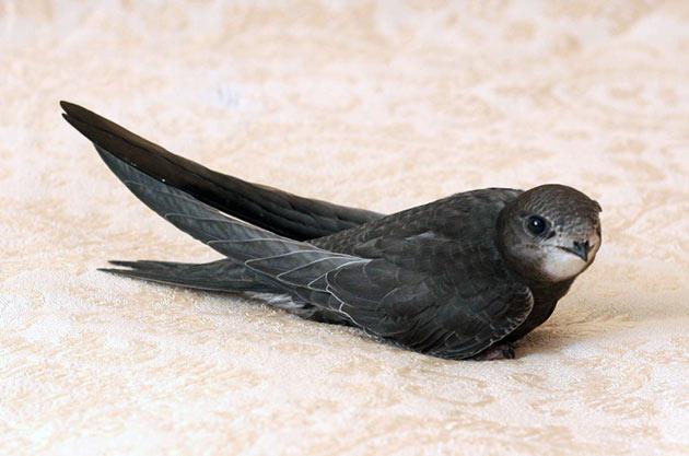 Чёрный стриж (Apus apus)