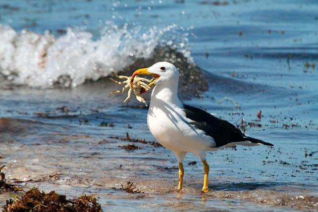 Альбатросы не прихотливы к еде, одни виды едят падаль, вторые кальмаров, а третьи рубы