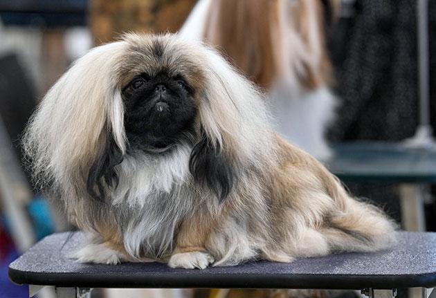 При покупке пекинеса желательно посмотреть родословную родителей и необходимо осмотреть внешний вид собаки