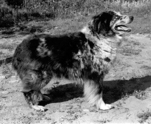 Породы собак: Австралийская овчарка