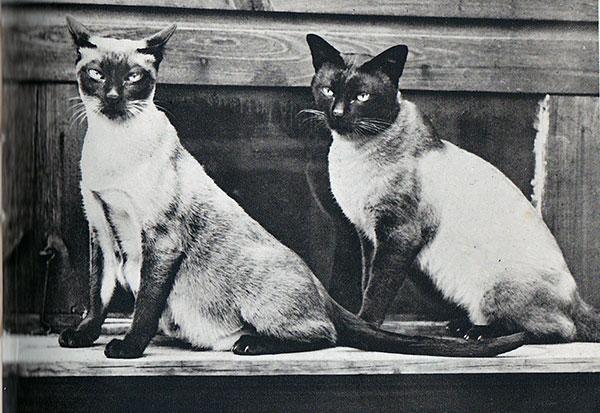 Породы кошек: Сиамская кошка