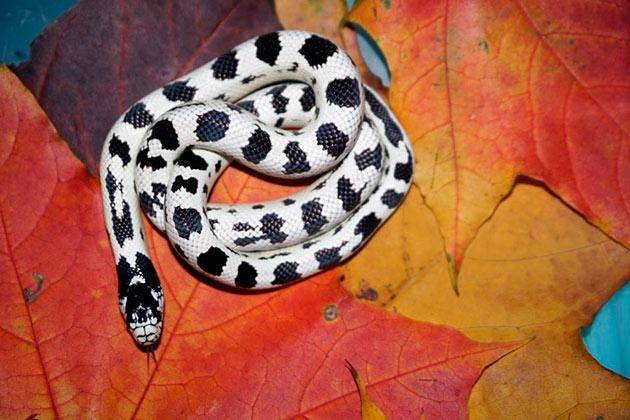 Калифорнийская королевская змея