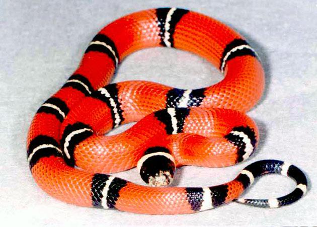 Королевская змея (Lampropeltis)