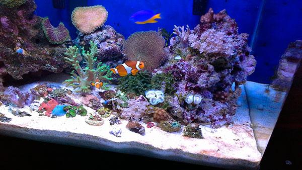 Перед амфиприонов нужно позаботится об аквариуме, для двух рыбок будет достаточно 50-60 литров