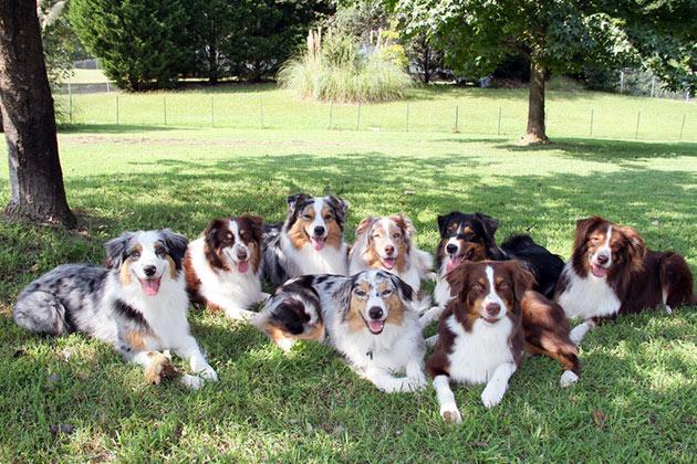 При покупки щенка австралийской овчарки обязательно обращайте внимание на окрас (он должен быть яркий), и его активность