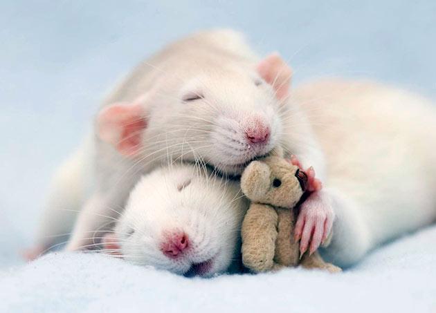 При покупке декоративных крыс необходимо выбирать самку и самца одной породы
