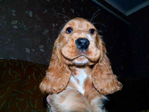 Заводчики советуют брать щенков английского кокер-спаниеля в возрасте трех месяцев, а цена начинается от 10 тысяч