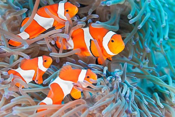 Перед покупкой амфиприона убедитесь, что вода в аквариуме не мутная