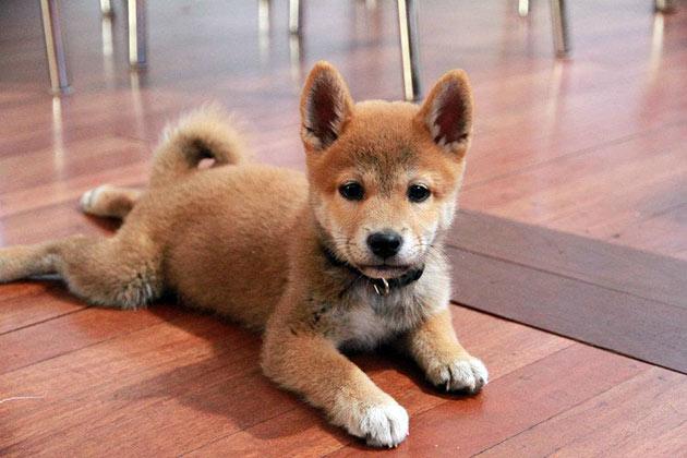 Покупать щенков сиба-ину необходимо в официальных питомниках, иначе вы можете стать жертвой мошенников