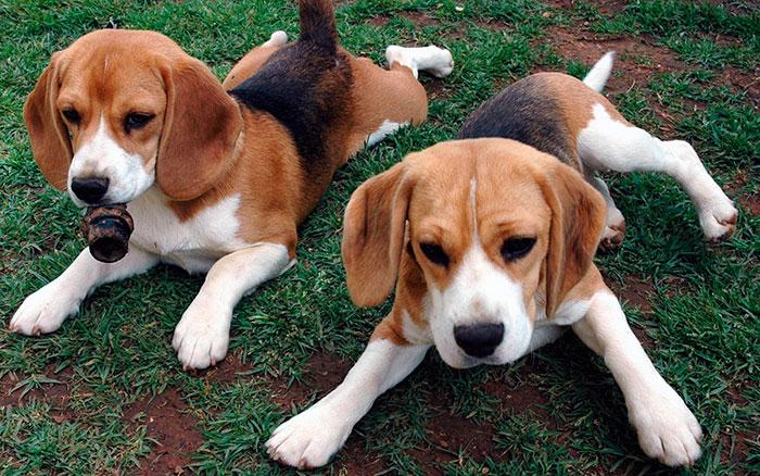 В зависимости от титулованности родителей щенка бигля цена варьируется от 30 до 70 тысяч, в редких случаях выше