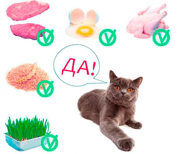 Составить рацион питания для британской кошки не так сложно, в нем должны присутствовать необходимые витамины и белки