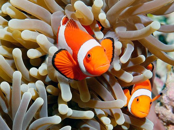У рыбы-клоуны существует взаимовыгодный симбиоз с актиниями