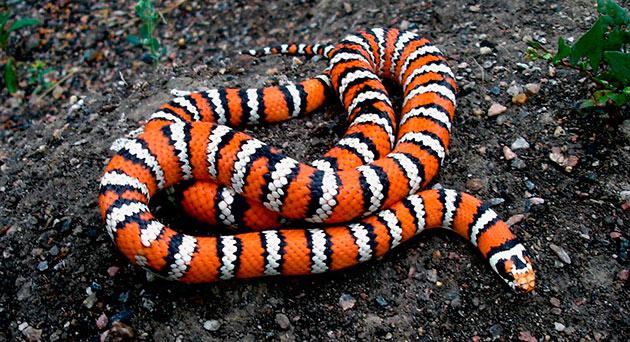 Ареал обитания королевских змей достаточно широк - от хвойных лесов, до морских побережий