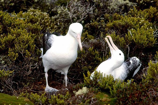 У альбатросов, практически нет природных врагов, однако они почти не исчезли, когда их начали истреблять люди