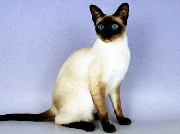 До того, как сиамской кошке исполниться 6 недель, её необходимо кормить разбавленными сливками и творожком