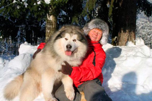 Аляскинский маламут станет хорошим другом, добрым и сильным, но у вас должен быть опыт за уходом крупных пород
