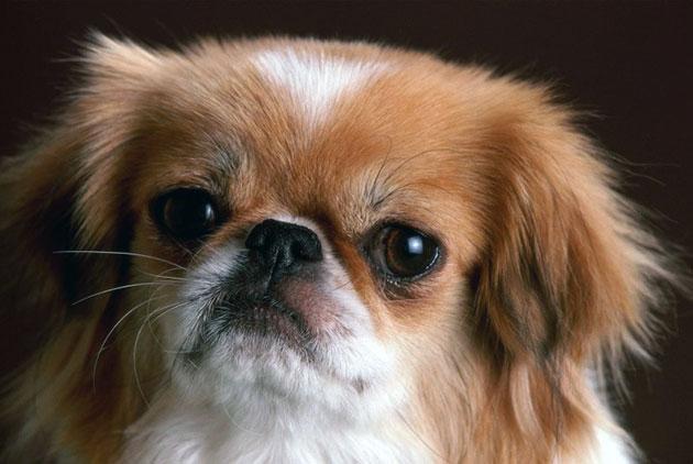 Породы собак: Пекинес