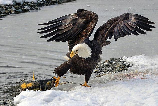 Белоголовый орлан не брезгает питаться падалью и отходами с помойки