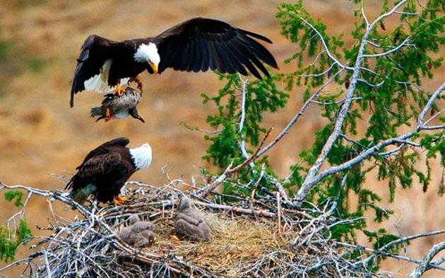 В основном белоголовый орлан питается рыбой и мелкой дичью