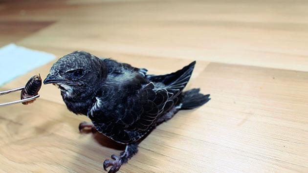 Питанием для черных стрижей могут стать паучки, букашки, червячки, личинки