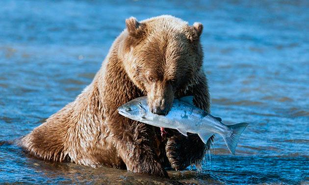 Бурые медведи всеядны, например вблизи акваторий любят полакомится рыбой