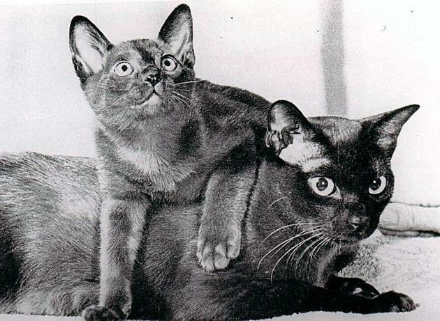 Породы кошек: Бурма