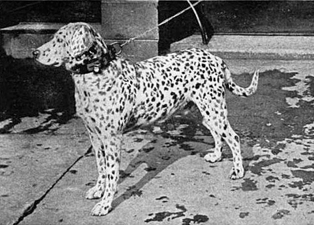 Породы собак: Далматин