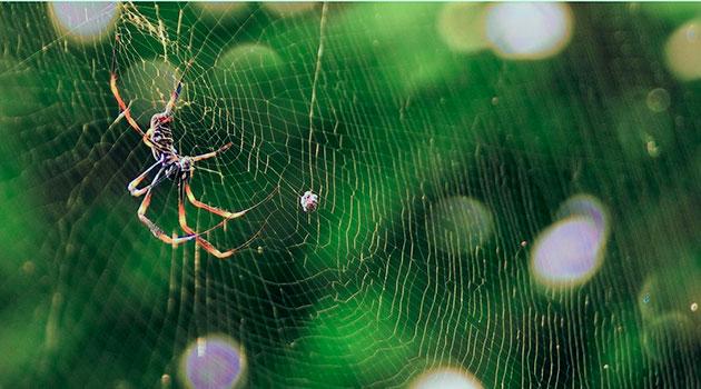 Прочные паутины, в основном, плетут пауки золотопряды