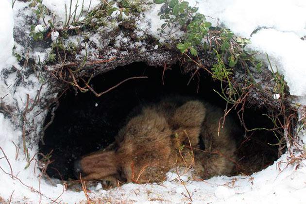 Бурые медведи, в зависимости от погоды, способны впадать в спячку до шести месяцев
