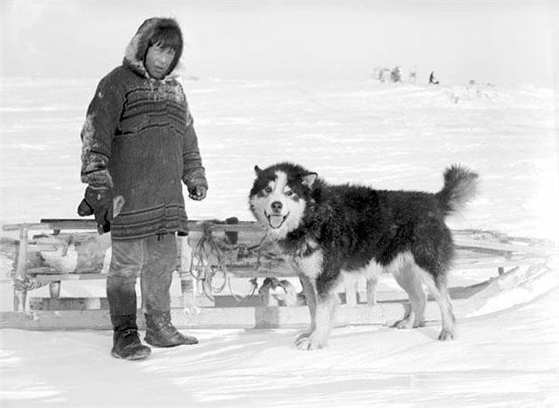 Породы собак: Аляскинский маламут